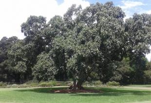 a centennial Magnolia at Botanical Gardens, courtesy pr/undercover